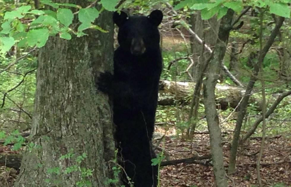 Un oso americano ataca en EE UU a una niña en el patio de su casa