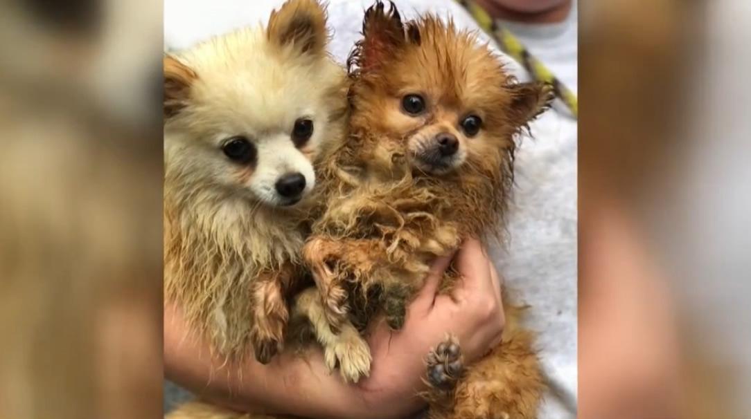 82 perros rescatados de un criadero de cachorros en el condado de Jefferson