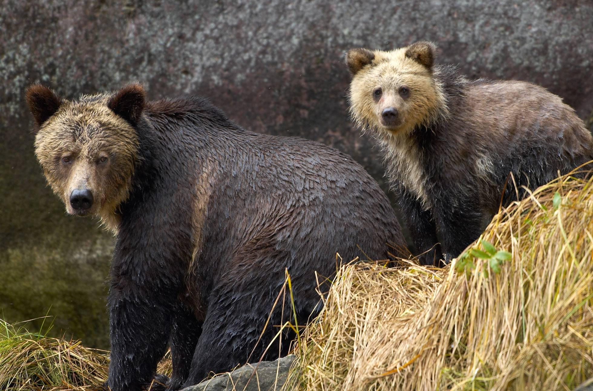 Un oso grizzly mata a un joven de 18 años en Alaska