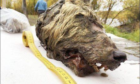 cabeza del lobo