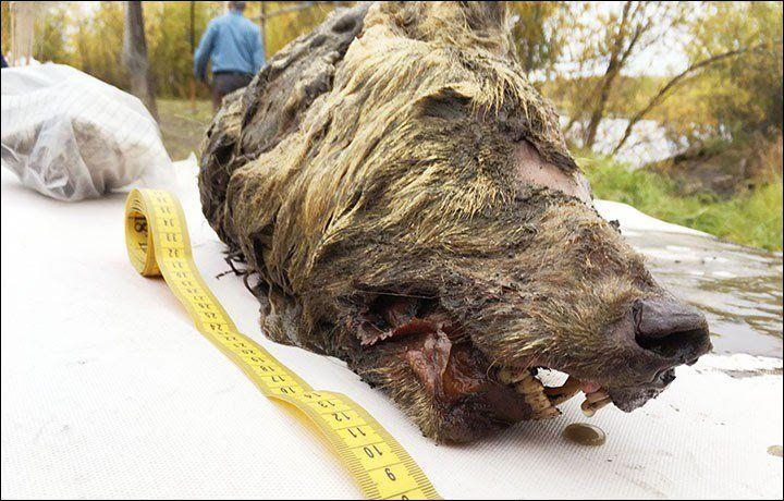 Encuentran intacta cabeza de lobo que vivió hace 40,000 años