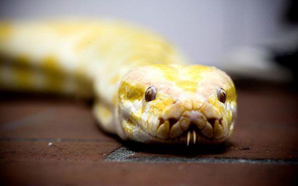 El sospechoso propietario de T-Town Python fue identificado; se recuperó la segunda serpiente