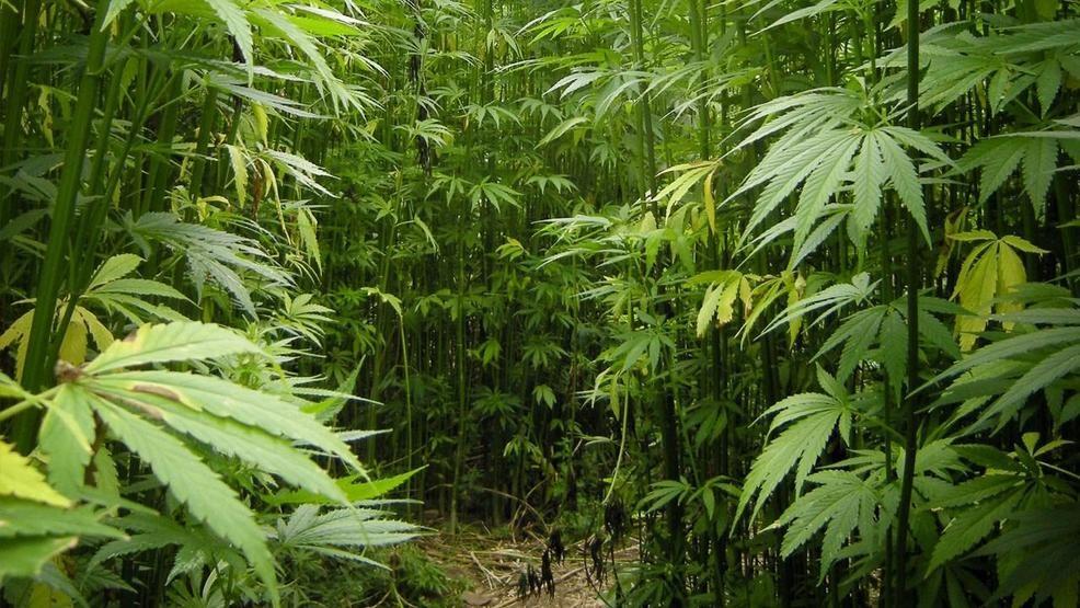 Agricultores de Marihuana en Alabama, pasan prueba de fuego