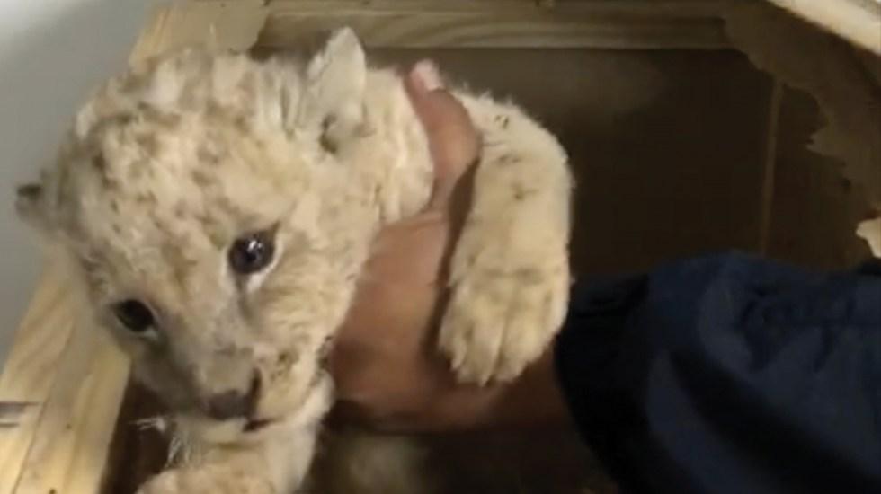 cachorro de leon