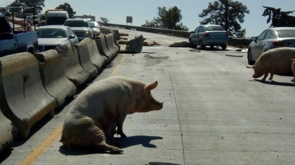 Vuelca camión cargado de cerdos sobre la México-Puebla