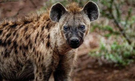 close up photography of hyena 674053