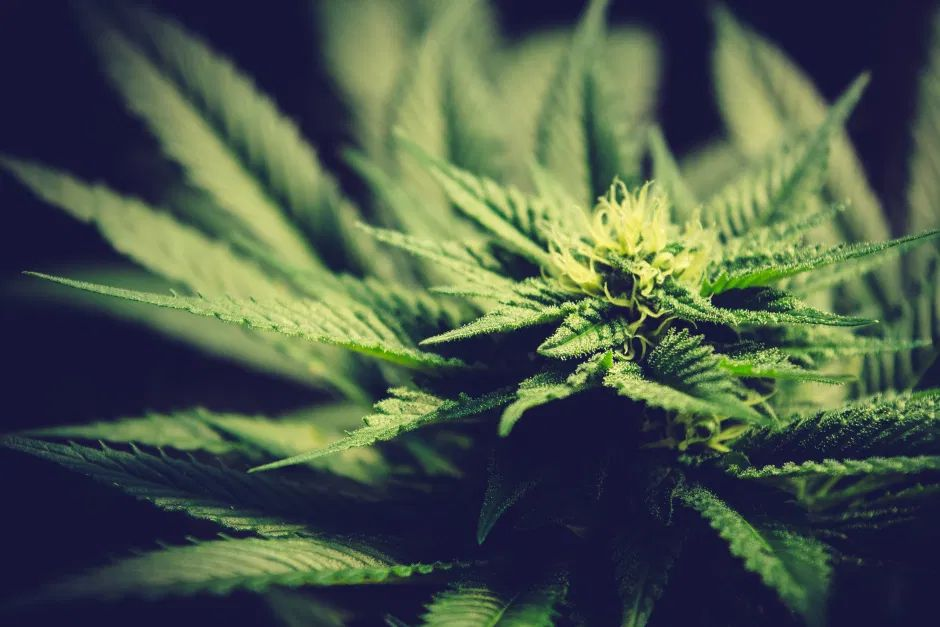 En Jalisco decomisan 200 kilos de marihuana