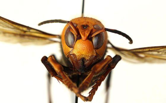 """Los avispones asesinos amenazan a las abejas en EE.UU. Y su picadura es """"como tachuelas al rojo vivo"""""""