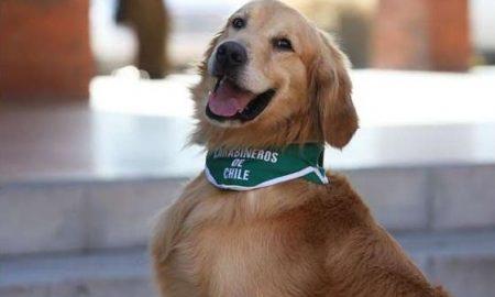 chile adiestra perros para detectar covid