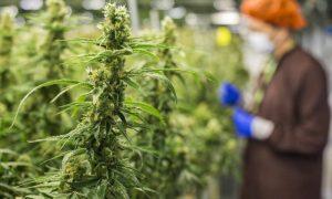 Comienza la venta de marihuana recreacional en Arizona tras aval de votantes
