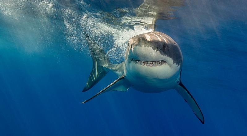 Gran tiburón blanco reportado frente a la costa de Alabama