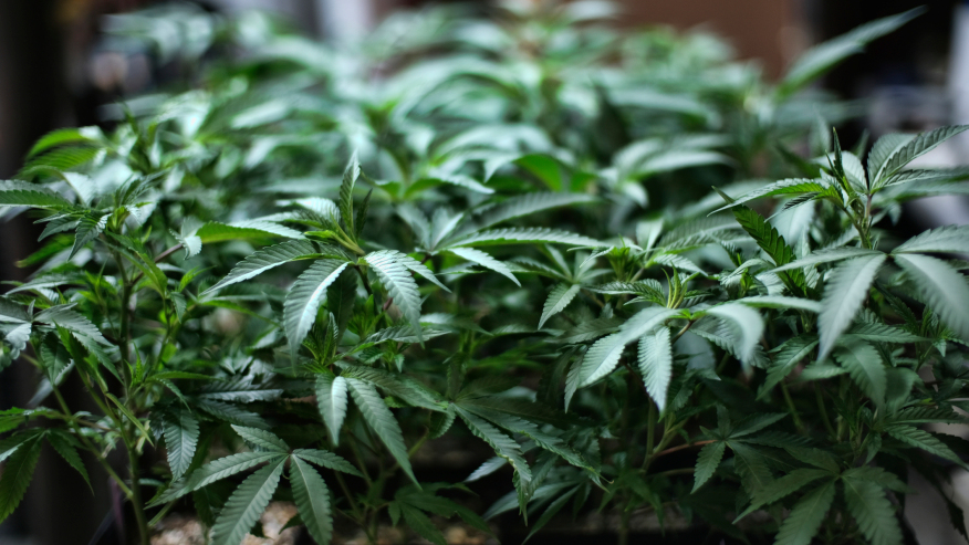 Cámara de Alabama aprueba proyecto de ley de marihuana medicinal