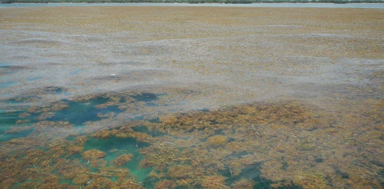 Más nitrogeno en el sargazo, la peor pesadilla para el Caribe y Florida