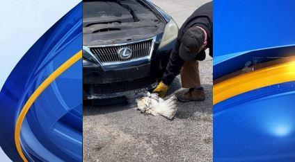 Halcón golpeado por un automóvil fue salvado por la policía de Bessemer