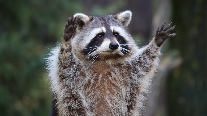 3 tratados por rabia después del ataque de un mapache en Cullman