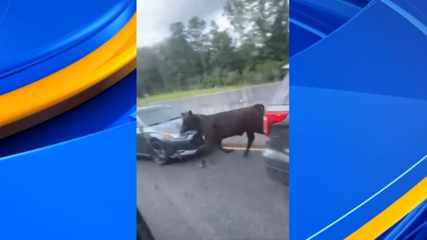 Vacas vagando por la I-20/59 en el condado de Tuscaloosa