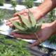 Alabama comienza a aceptar solicitudes para cultivar y procesar cáñamo la próxima semana